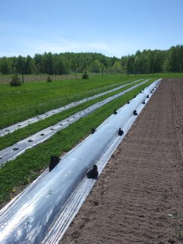Melon tunnel: perforated plastic row cover