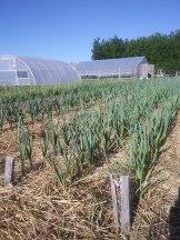 Garlic growing strong
