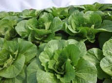 Napa cabbage growing well under row cover